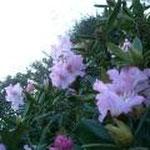 Rhodo en fleur