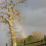 Arc-en-ciel derrière notre chêne bonsaï