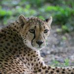 Gepard 2014