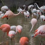 Rosa Flamingo 14.09.14