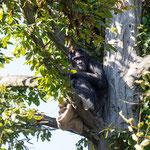 Schimpansen 14.09.14