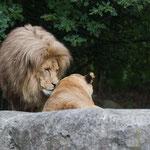 Afrikanischer Löwe 14.09.14