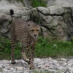 Gepard 28.05.15