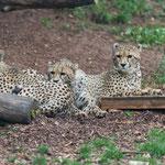 Gepard 25.05.16