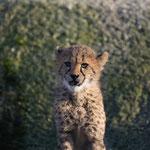 Gepard 22.1.14