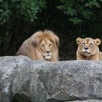 Arikanischer Löwe 14.09.14