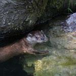 Fischotter 01.08.2012