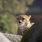 Gepard 04.03.11