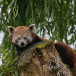 Kleiner Panda 28.05.16