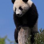 Grosser Panda 2014