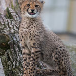 Gepard 22.11.14
