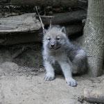 Arktischer Wolf 2015