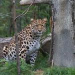Amurleopard 14.09.14