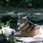 Europäischer Wolf 28.05.16