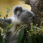 Koala 2015