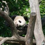 Grosser Panda 2015