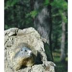 2008 - Marmotte