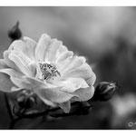 2014 - Rose