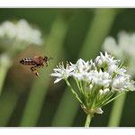 Fleur d'aillet (légume condiment) et abeille mélifère
