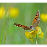 Fleur de chélidoine et papillon Cuivré commun