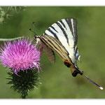 Chardon avec papillon Flambé