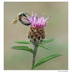 Cirse des champs avec une abeille solitaire (Halictus sp.)