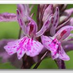 Orchidée sauvage des Pyrénées
