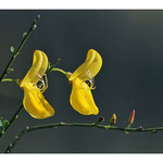 Genêt à balais (Cytisus scoparius)