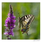 Fleur de Salicaire avec papillon Machaon