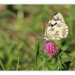 Trèfle commun avec papillon Demi deuil