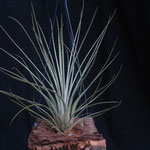 Tillandsia bartrami