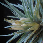 Tillandsia plagiotropica