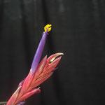 Tillandsia pseudobaileyi