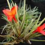 Tillandsia albertiana red