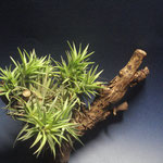 Tillandsia neglecta