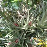 Tillandsia aeranthus