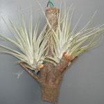 Tillandsia oaxacana
