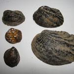 真珠核原料(ドブ貝)