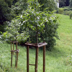 Neu gepflanzte Esskastanien 2010