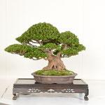 38 Kanuma Satsuki-kai Award (OSAKAZUKI)