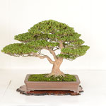 22 Kanuma Satsuki-kai Award (CHINZAN)