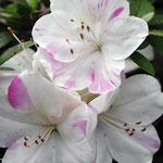 Sakuranoiwai (桜の祝)