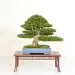 19 Kanuma Satsuki-kai Award (OSAKAZUKI)