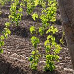 Hopfenpflanzen bei Wolnzach