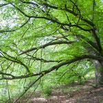 Markanter Baum im Hirnsberger Holz bei Larsbach