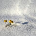 Eingeschneite Blümlein im Mai
