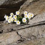 Ein fröhlicher Blumengruß im Fels der Stubaier Alpen