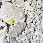 Einsame Blume in der Palagruppe, Dolomiten