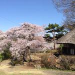 観音堂の桜