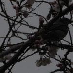 桜(えどひがん)